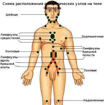 Де знаходяться лімфовузли у людини?